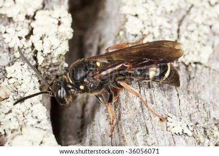 Hymenopteran sitting on tree. Macro photo.