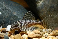 Hypancistrus sp. 'King tiger pleco' L333