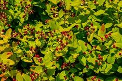 Hypericum androsaemum or Tutsan, Shrubby St. John's Wort , or sweet-amber red fruits and green leaves in summer garden