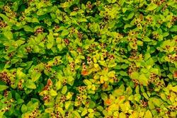 Hypericum androsaemum or Tutsan, Shrubby St. John's Wort , sweet-amber red fruits and green leaves in summer garden