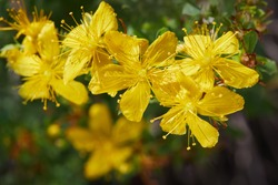 Hypericum flowers (Hypericum perforatum or St John's wort) is growing in the meadow outdoors