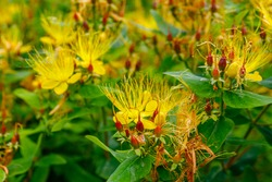 Hypericum hookerianum (Hooker's St. John's Wort ) yellow flowers in summer garden