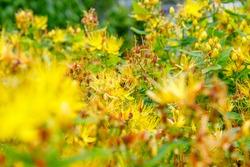 Hypericum hookerianum or Hooker's St. John's Wort yellow flowers in summer garden