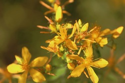 Hypericum perforatum, Klamath weed, Saint John's wort, common St. John's-wort, perforate St John's-wort, Echtes Johanniskraut.  Golden-yellow Hypericum flowers close-up in sunlight outdoors in summer.