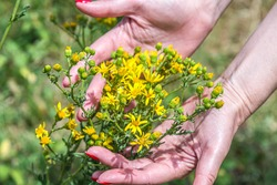 Hypericum perforatum, known as St John's wort, common or perforate St John's-wort