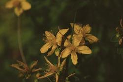 Hypericum perforatum, Saint John's wort, St. John's wort, perforate St John's-wort, Klamath weed. Golden yellow flowers of St. John's wort close-up with long stamens in sunlight outdoors.