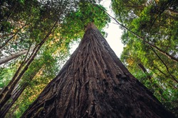 Hyperion Tree is the Tallest Tree in the World, Redwoods National and State Parks, California