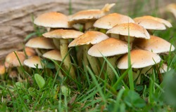 Hypholoma Fasciculare (Sulphur Tuft) Fungi growing on old wood in garden