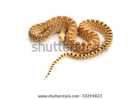Hypo Bull Snake (Pituophis catenifer sayi) on white background.