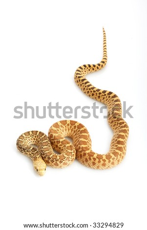 Hypo Bull Snake (Pituophis catenifer sayi) on white background.