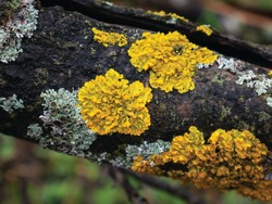 Hypogymnia physodes and Xanthoria parietina common orange lichen, yellow scale, maritime sunburst lichen and shore lichen lichenized fungi growing on a branch. Lichen