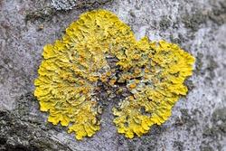 Hypogymnia physodes and Xanthoria parietina common orange lichen, yellow scale, maritime sunburst lichen and shore lichen lichenized fungi growing on a tree.