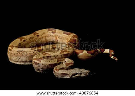 hypomelanistic Columbian red-tailed boa (Boa constrictor constrictor) isolated on black background.