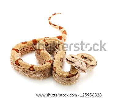 Sunglow Red Tail Boa Columbian Red-tailed Boa