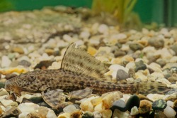 Hypostomus plecostomus, also known as the suckermouth catfish or the common pleco, is a tropical fish belonging to the armored catfish family (Loricariidae)