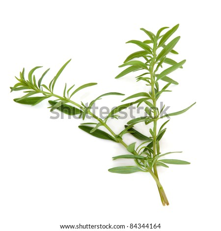Hyssop herb leaf sprigs isolated over white background.  Hyssopus.