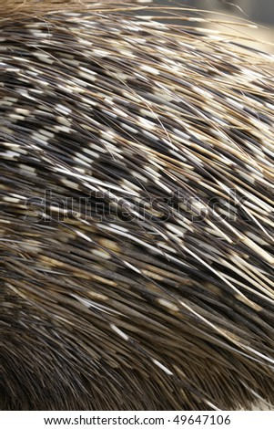 hystricidae, old world porcupine