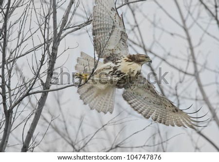 I am out of here! Red-tailed Hawk . Latin name-Buteo jamaicensis.