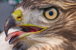 I believe a sharp-shinned juvenile hawk portrait with tongue sticking out - close up - at Hawk Ridge Bird Observatory in Duluth, Minnesota during Fall migrations
