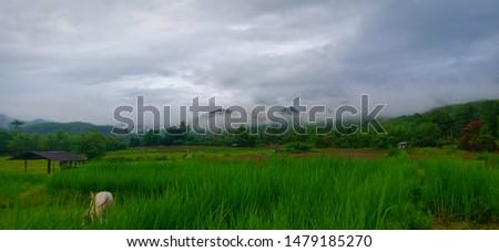 I like rice fields, green fields.