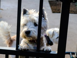 I'm so glad you are home - Sad looking Westie dog looking through wrought iron fence with another dog blurred out in the background