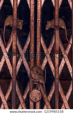 I taken this picture at A Hindu Temple, there are lots of rats, I saw this composition rats on the iron door.