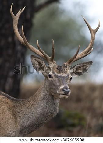 Iberian deer. #307605908