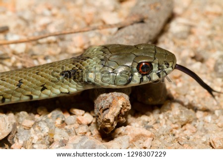Iberian Grass Snake (Natrix astreptophora). Close up photo of exotic vibrant brown and grey snake on the ground. Wild juvenile serpent with tongue out