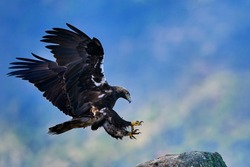 Iberian Imperial Eagle, Aquila adalberti, rare bird of prey landing fly on the rock habitat, Sierra de Andújar, Andalusia, Spain in Europe. Eagle in the nature stone habitat. Birdwatching in Europe.