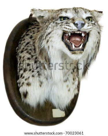 Iberian lynx heads on a white background