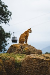 Iberian lynx on a rock In a cloudy day