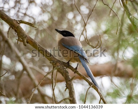 Iberian magpie (Cyanopica cooki) in Ria Formosa national park, Portugal
