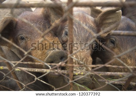 Iberian pigs behind a fence