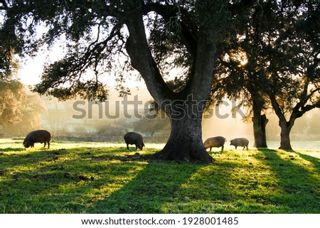 Iberian pigs eating in the Dehesa with rays of light behind the cork oak