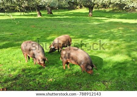 Iberian pigs herd in the meadow, near Monesterio, Badajoz province in Extremadura, Spain
