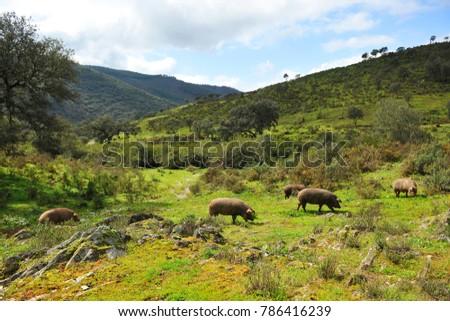 Iberian pigs herd in the meadow, Sierra de Huelva, Spanish product