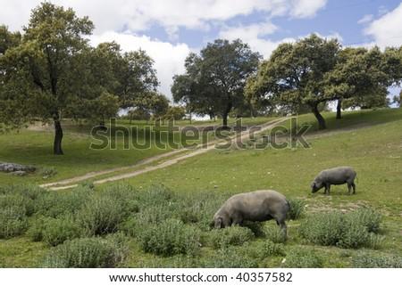 Iberian pigs in Cordoba's moor but seems Jabugo