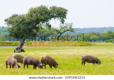Iberian pigs in the meadow of Extremadura. Pigs of lampino breed