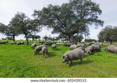 Iberian pigs in the spanish countryside.