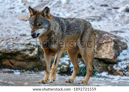 Iberian wolf with wrinkled snout and showing teeth. Canis lupus signatus. Iberian Wolf Center. Zamora, Spain. Foto stock ©