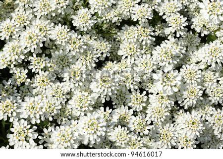 Iberis sempervirens - evergreen candytuft. Beautiful white carpet.