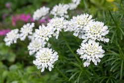 Iberis sempervirens evergreen candytuft perenial flowers in bloom, group of white springtime flowering rock plants, seasonal background