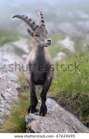 Ibex at 2651 meters on the sea-level. Gavia Pass, Brixia province, Lombardy region, Italy