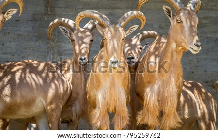 Ibex, group of mountain goats, Family mammals with large horns #795259762