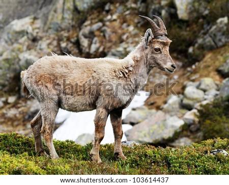 Ibex in natural habitat
