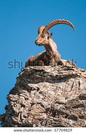 ibex. male alpine ibex (lat. Capra ibex) sitting on the top of a rock