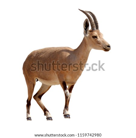 Ibex Mountain goat isolated on white background. Copy space