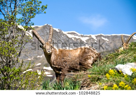 Ibex near Champagny en Vanoise, Savoy - stock photo