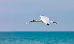 Ibis (eudocimus albus) flying over water and background is cloudy, Sanibel Island, Florida, USA