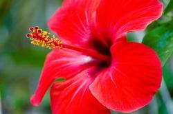 Ibiscus flower close up